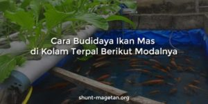 Cara Budidaya Ikan Mas di Kolam Terpal Berikut Modalnya