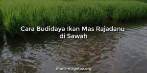 Cara Budidaya Ikan Mas Rajadanu di Sawah