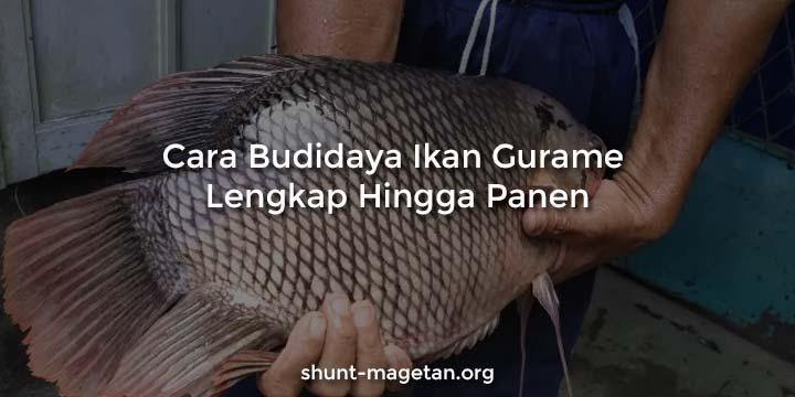 Cara Budidaya Ikan Gurame Lengkap Hingga Panen